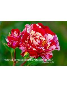Carte postale - Rose Broceliande (0196)