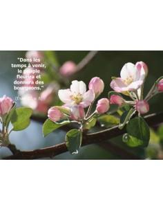 Carte postale - fleurs de pommier