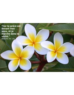 Carte postale - fleur de frangipanier