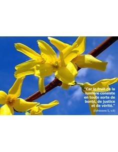 Carte postale - fleurs de forsythia